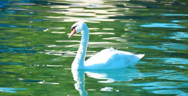 cygnes lac bleu